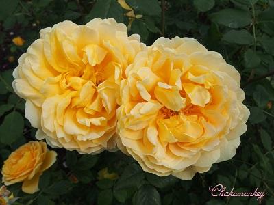 Kew Gardensのバラのアーチ_f0238789_2263413.jpg