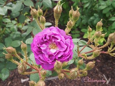 Kew Gardensのバラのアーチ_f0238789_2271159.jpg