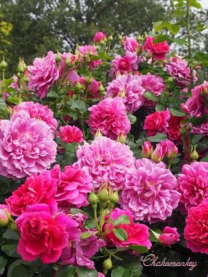 Kew Gardensのバラのアーチ_f0238789_2284961.jpg