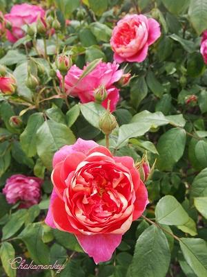 Kew Gardensのバラのアーチ_f0238789_228921.jpg