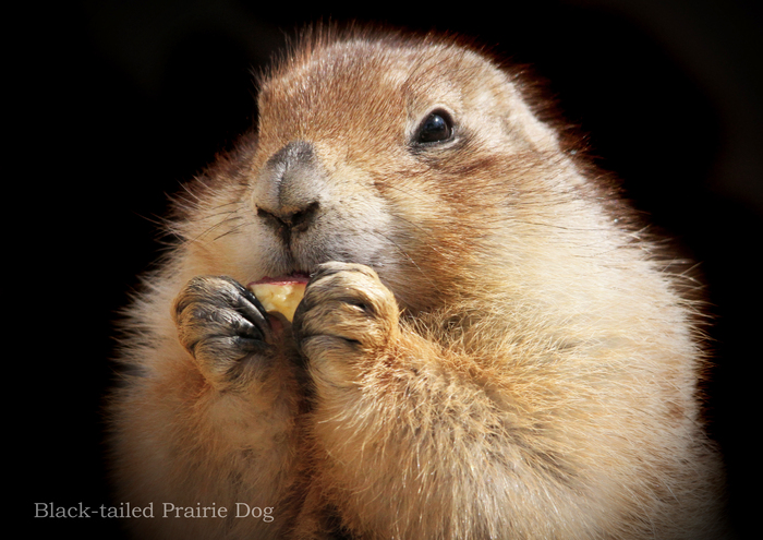 オグロプレーリードッグ:Black-tailed Prairie Dog_b0249597_5375617.jpg