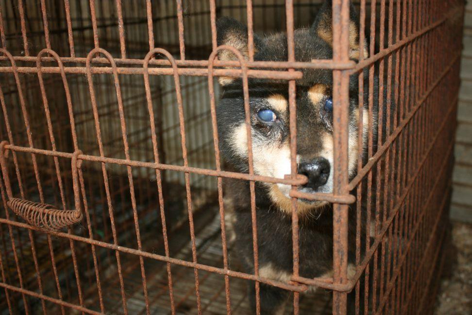 ブリーダー放棄の柴犬とラブたち(7/2-7/3)_f0242002_0125977.jpg