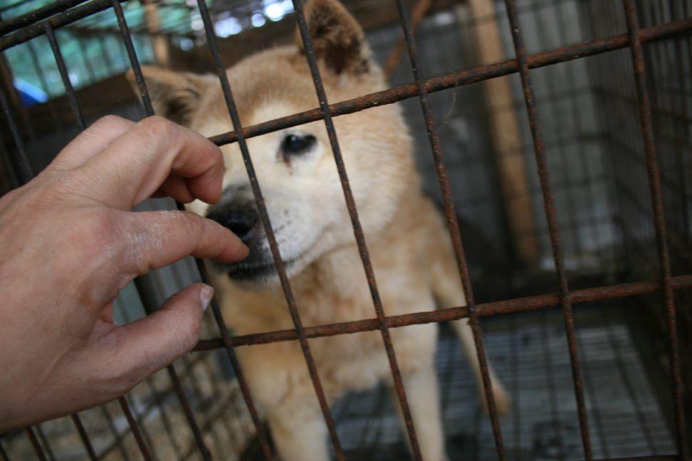 ブリーダー放棄の柴犬とラブたち(7/2-7/3)_f0242002_017235.jpg