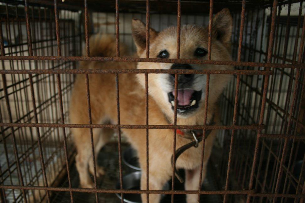 ブリーダー放棄の柴犬とラブたち(7/2-7/3)_f0242002_019558.jpg