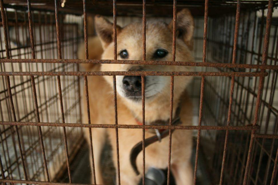 ブリーダー放棄の柴犬とラブたち(7/2-7/3)_f0242002_020543.jpg