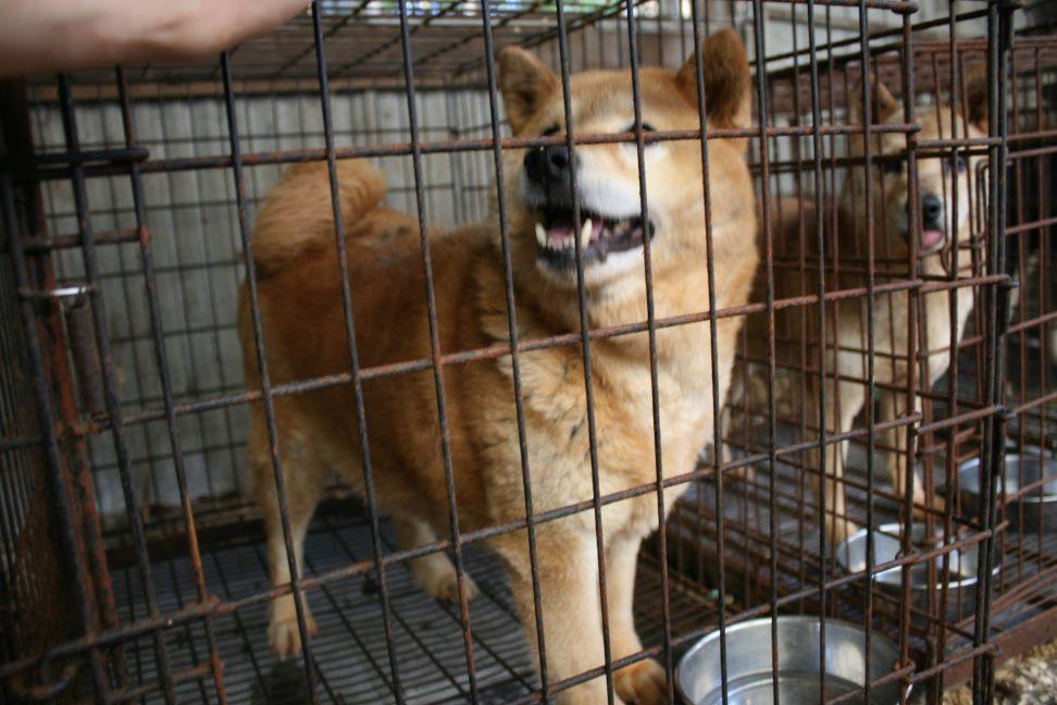 ブリーダー放棄の柴犬とラブたち(7/2-7/3)_f0242002_0243275.jpg