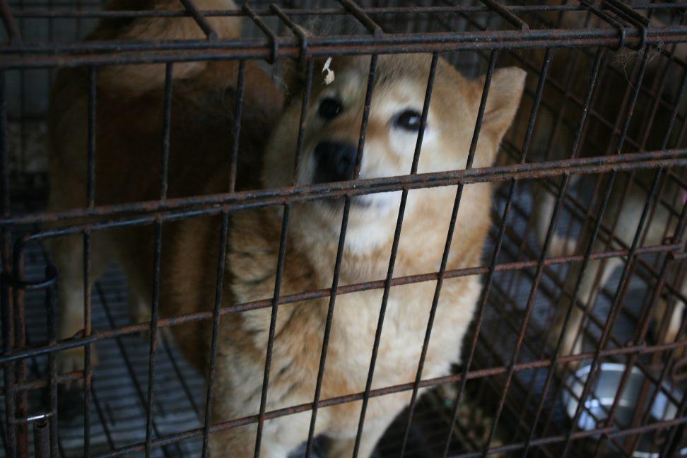 ブリーダー放棄の柴犬とラブたち(7/2-7/3)_f0242002_0244585.jpg