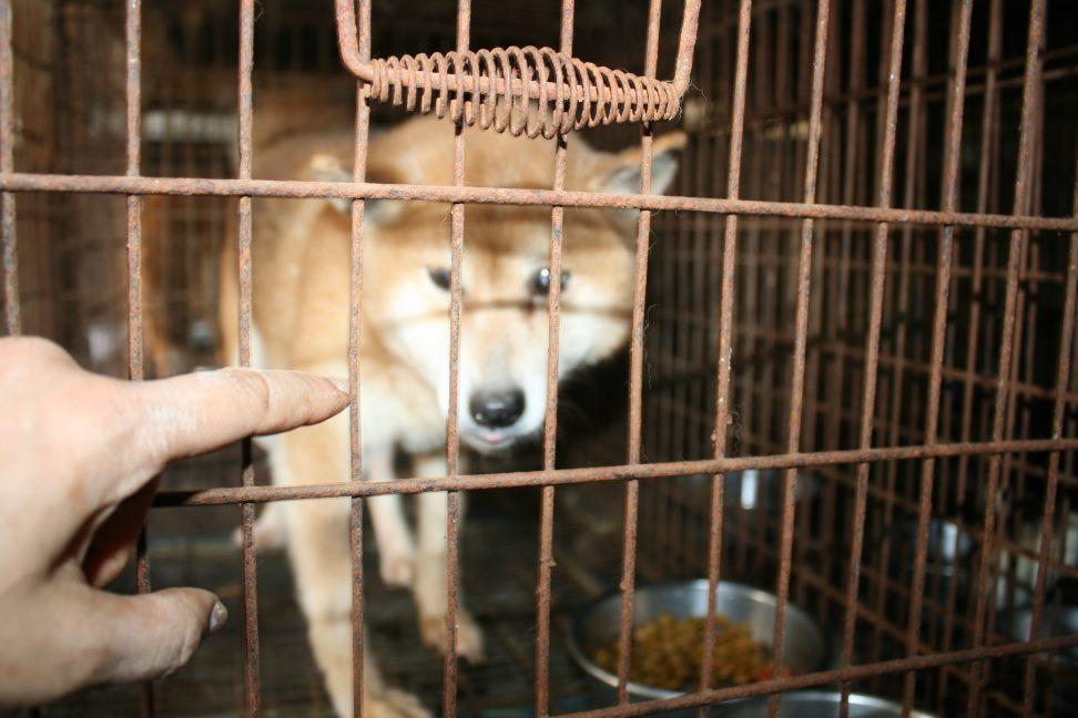 ブリーダー放棄の柴犬とラブたち(7/2-7/3)_f0242002_03099.jpg