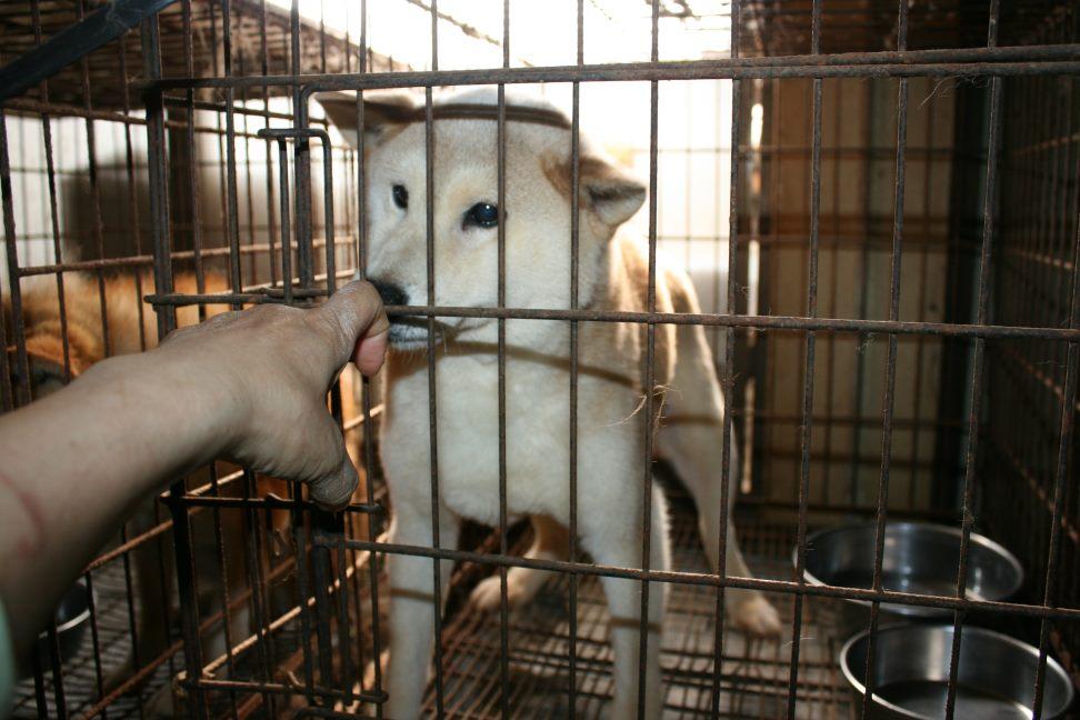ブリーダー放棄の柴犬とラブたち(7/2-7/3)_f0242002_0324822.jpg