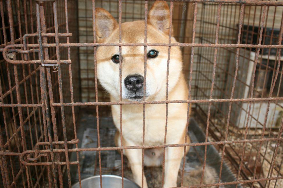 ブリーダー放棄の柴犬とラブたち(7/2-7/3)_f0242002_0331158.jpg