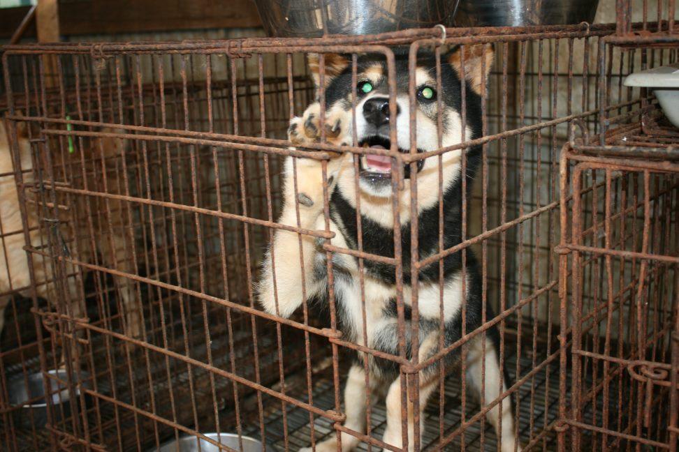 ブリーダー放棄の柴犬とラブたち(7/2-7/3)_f0242002_034284.jpg