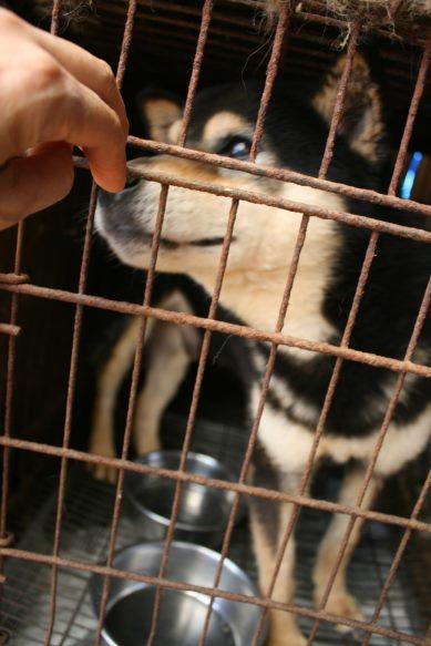ブリーダー放棄の柴犬とラブたち(7/2-7/3)_f0242002_0385238.jpg
