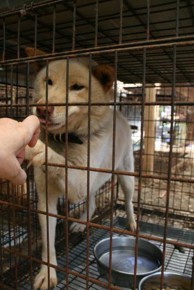 ブリーダー放棄の柴犬とラブたち(7/2-7/3)_f0242002_0401752.jpg