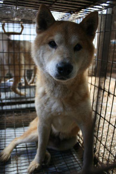 ブリーダー放棄の柴犬とラブたち(7/2-7/3)_f0242002_0414798.jpg