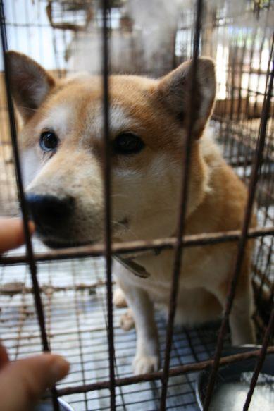 ブリーダー放棄の柴犬とラブたち(7/2-7/3)_f0242002_0435758.jpg