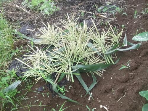 トウモロコシの初収穫.._b0137932_15231959.jpg