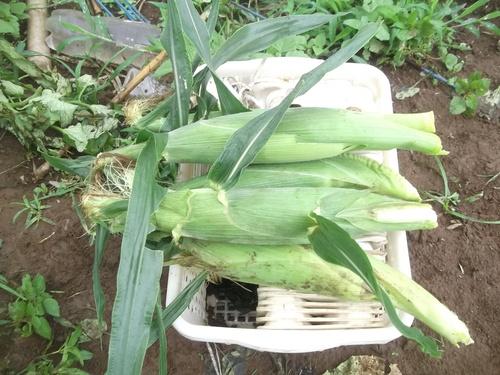 トウモロコシの初収穫.._b0137932_1524542.jpg