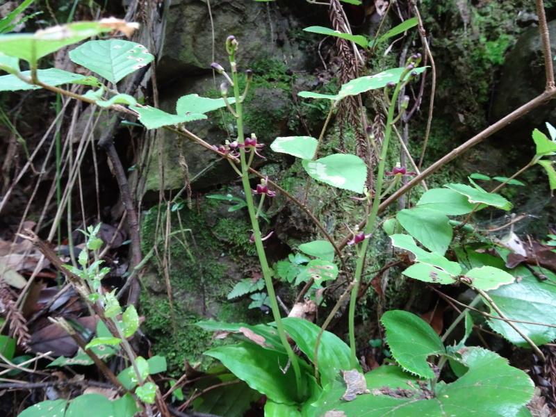 孝子の森にコクランが咲いた_c0108460_16320146.jpg