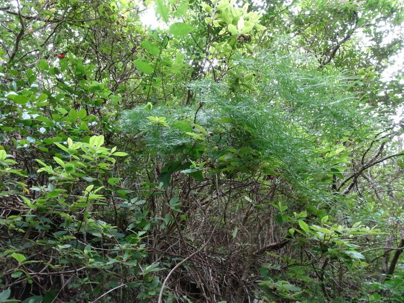 孝子の森にコクランが咲いた_c0108460_16331742.jpg