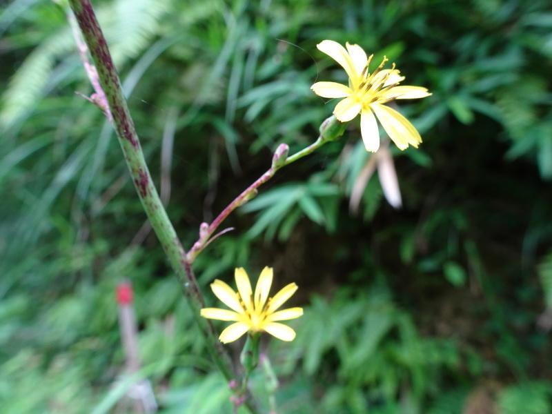 孝子の森にコクランが咲いた_c0108460_16331951.jpg