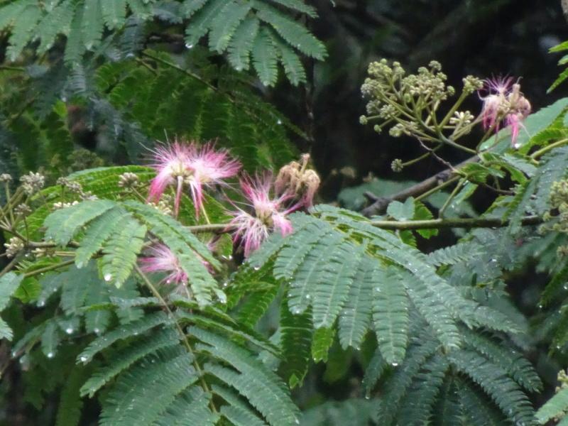 孝子の森にコクランが咲いた_c0108460_16415730.jpg