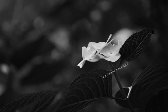 梅雨時の花・・・Ⅱ_a0333661_07585338.jpg