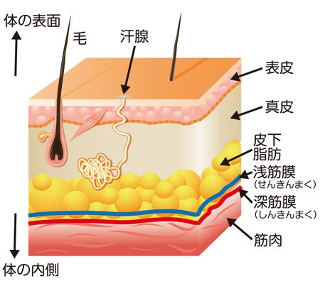 筋膜リリース(筋膜はがし)に対する考察_b0052170_12455328.jpg
