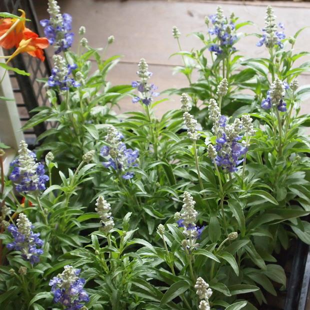 ブルー系のお花が入荷_a0292194_18543153.jpg