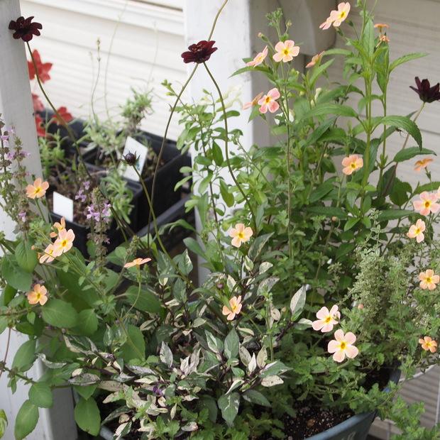 ハーブとお花の寄せ植え_a0292194_1918185.jpg