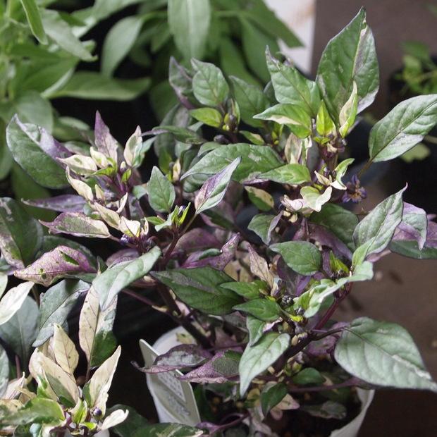 ハーブとお花の寄せ植え_a0292194_1929197.jpg