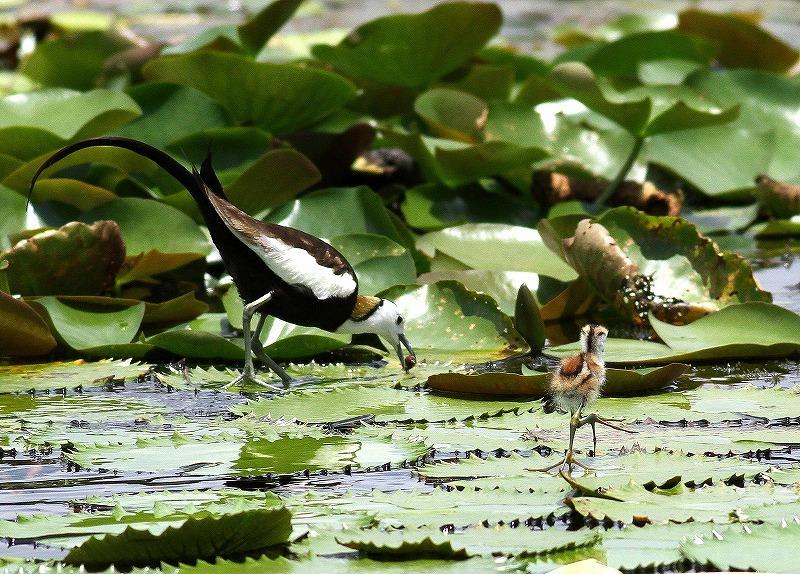 台湾鳥見旅行(その3)・・・_c0213607_18045628.jpg