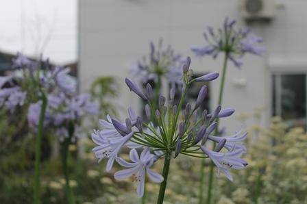 アガパンサスが咲きました_d0227610_15432562.jpg
