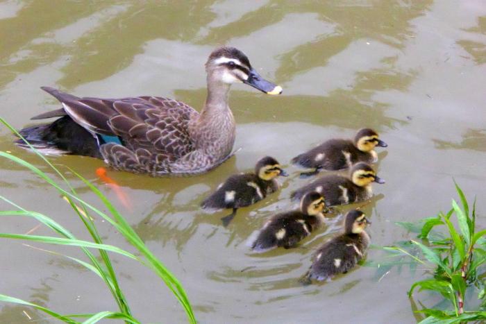 増水した生駒川の野鳥たち・・・白髭。_d0138130_1115455.jpg
