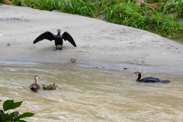増水した生駒川の野鳥たち・・・白髭。_d0138130_11175423.jpg