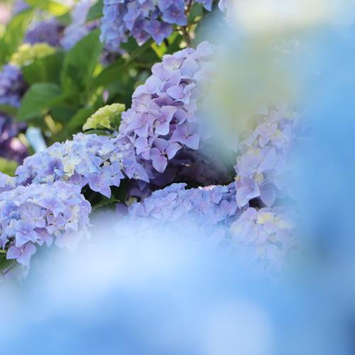 紫陽花の撮り方_a0189805_6244238.jpg