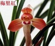 春蘭に花芽が                        No.1699_d0103457_00490844.jpg