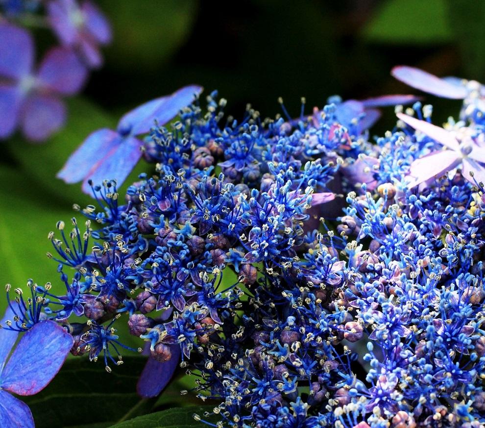 庭がスッキリしたわ ~山サジサイ、シュウカイドウ、ヒメヒオウギ~_a0107574_20154503.jpg