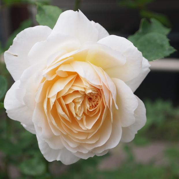 イングリッシュローズのお花_a0292194_14434923.jpg