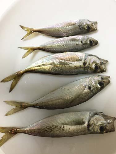 孫たちが秋田港でアジを釣った_f0019498_17252910.jpg
