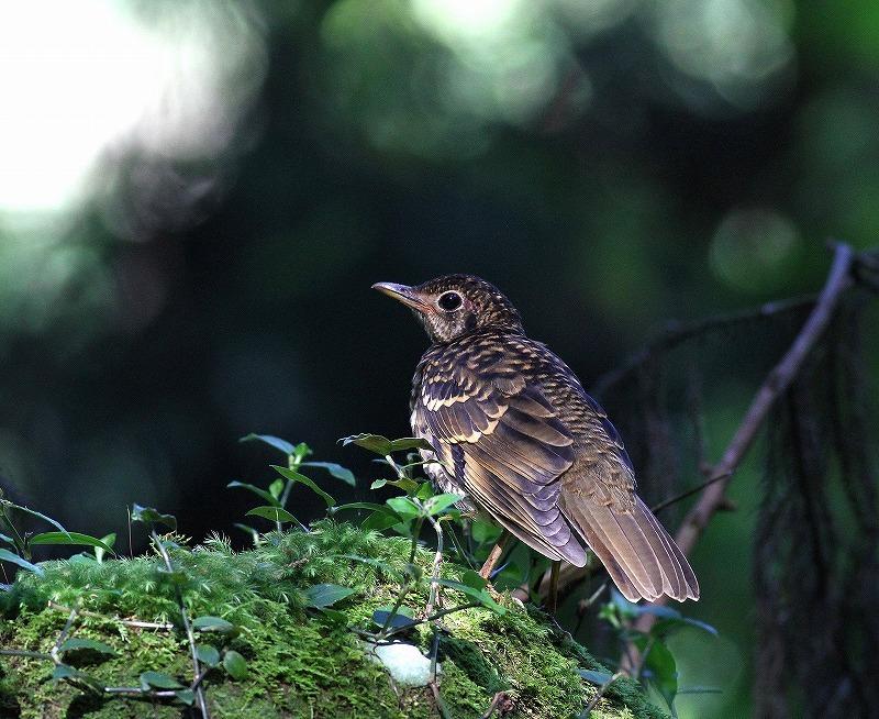 台湾鳥見旅行(その4)・・・_c0213607_16595288.jpg