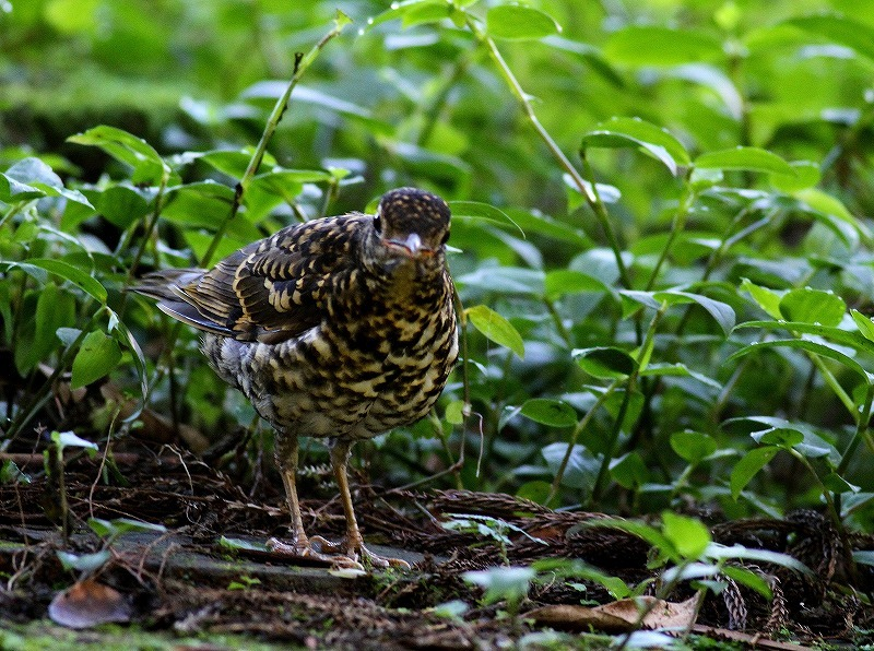 台湾鳥見旅行(その4)・・・_c0213607_16595731.jpg