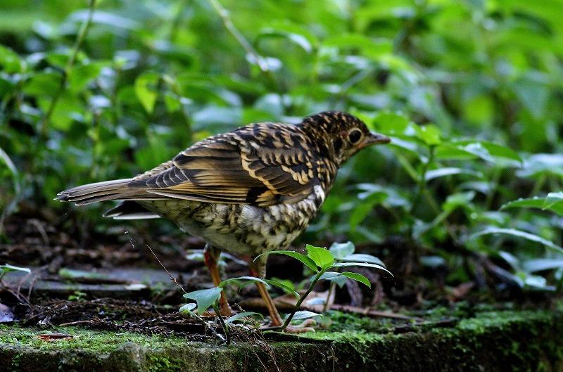 台湾鳥見旅行(その4)・・・_c0213607_17000704.jpg
