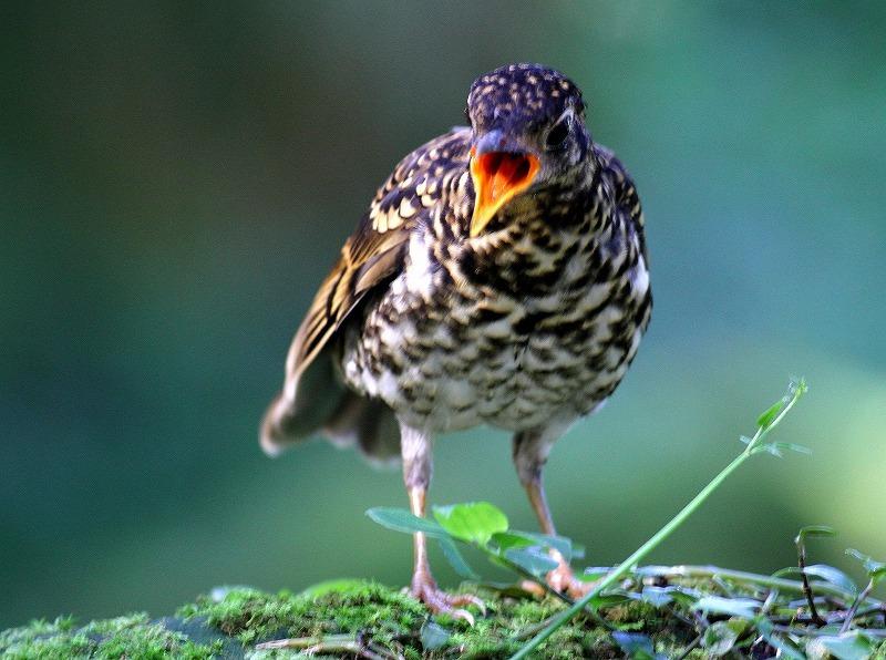 台湾鳥見旅行(その4)・・・_c0213607_17001757.jpg