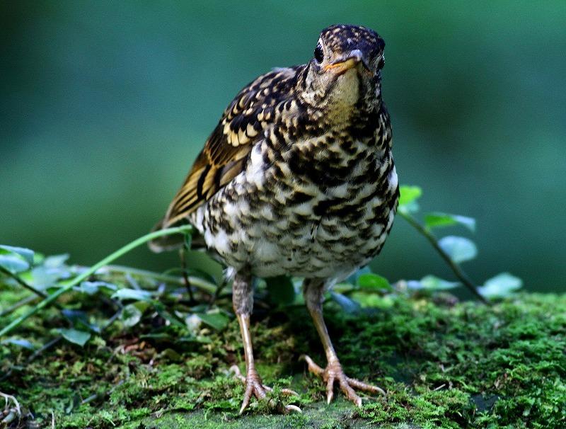 台湾鳥見旅行(その4)・・・_c0213607_17002154.jpg