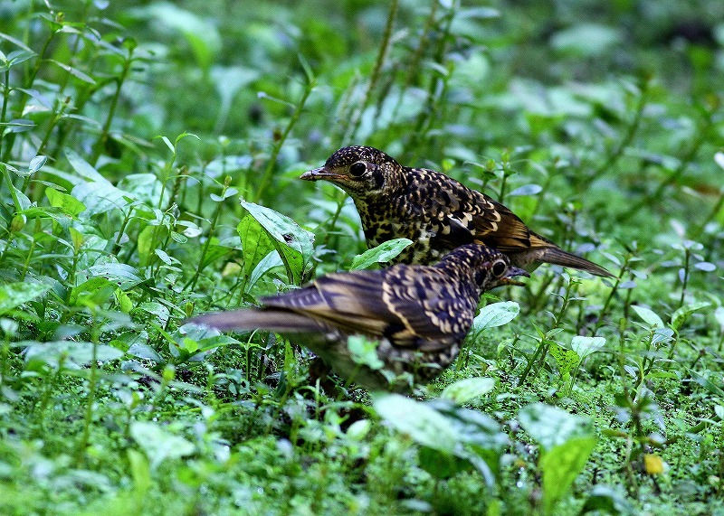台湾鳥見旅行(その4)・・・_c0213607_17012414.jpg