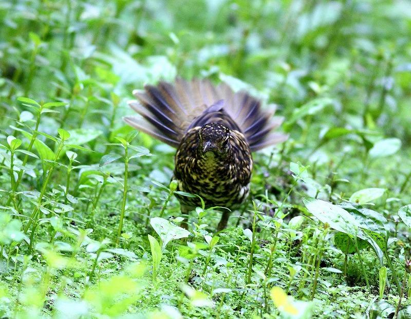 台湾鳥見旅行(その4)・・・_c0213607_17013703.jpg