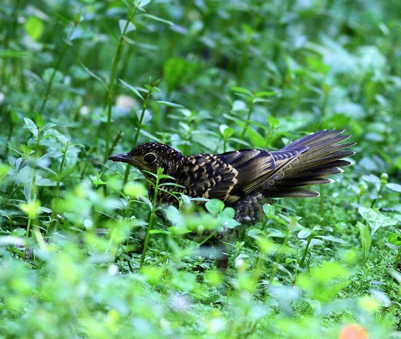 台湾鳥見旅行(その4)・・・_c0213607_17014283.jpg