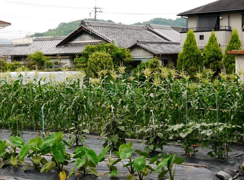 農作物_b0093754_19551144.jpg