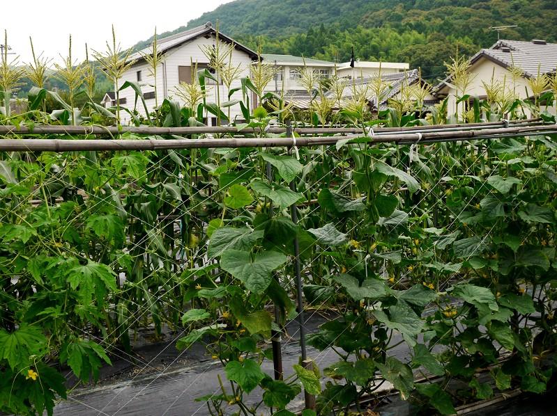 農作物_b0093754_19563560.jpg