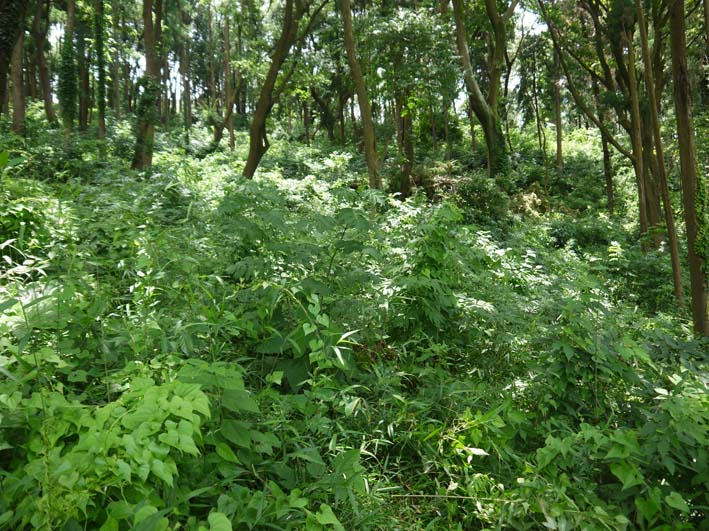 六国見山で下草刈りの最中にサンショウの木発見6・26_c0014967_8522958.jpg